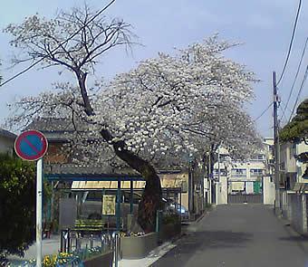 20070401sakura_saginomiya