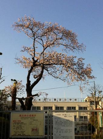 20120408sagishow_sakura