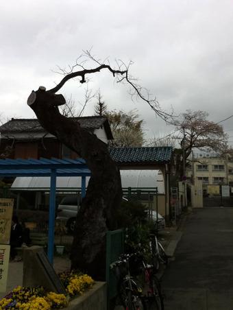 20110409sagishow_sakura00