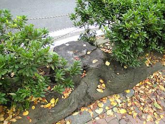 20081109sakura_kirikabu