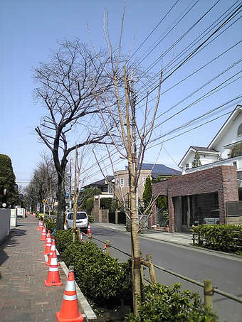 20090321kamisagi_sakura01