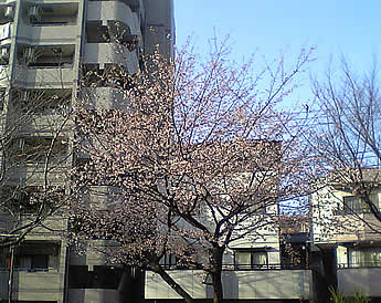 20070310sakura