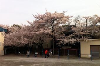 20110410sagishow_sakura01