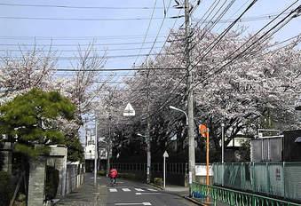 20090405上鷺宮小学校の桜