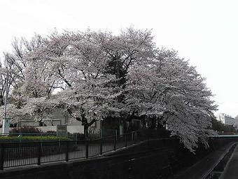 20090404桜 白鷺