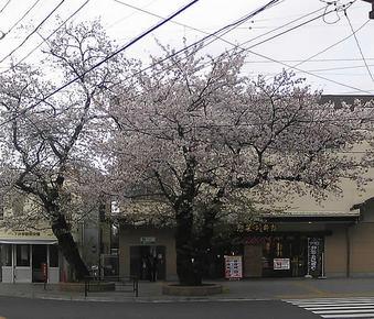 20100410simoigusa_sakura