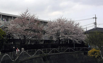 20100410tominjuwtaku_sakura