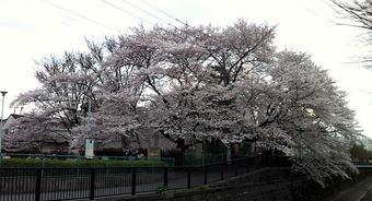 20120407sakura_sirasagi