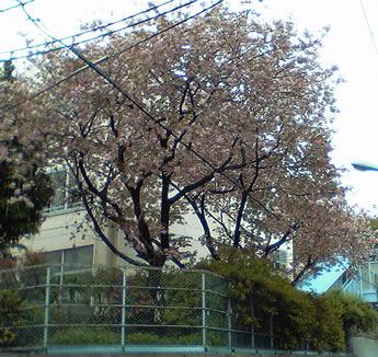 中野八中の八重桜