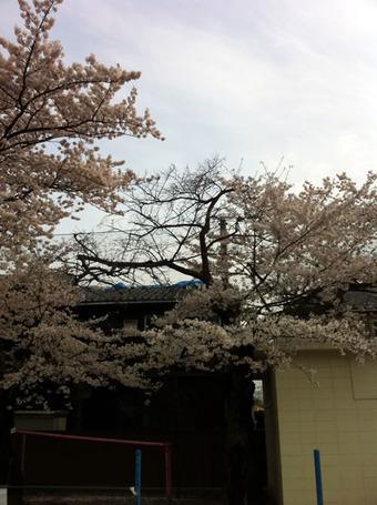 20110410sagishow_sakura02