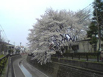 20070401白鷺桜
