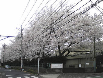 20080330_kamisagi_sakura