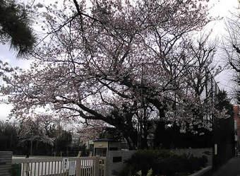 20090328 武蔵台小学校 ソメイヨシノ 桜 上鷺宮 鷺宮