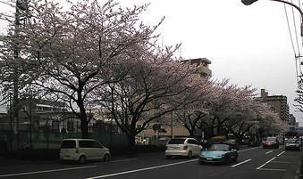 20090404千川通り桜並木02