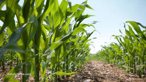 Corn-Crops-Field-Farm