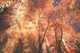 平安神宮 桜1
