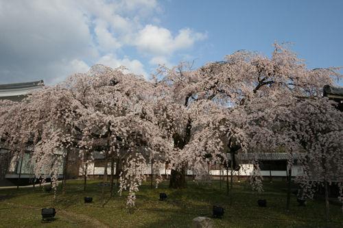 醍醐寺霊宝院の桜