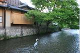 白川の白鷺