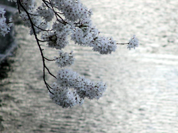 川にかかる桜 大田区では、池上本門寺、洗足池といった日蓮ゆかりの地の桜は美しく、また... 犀の
