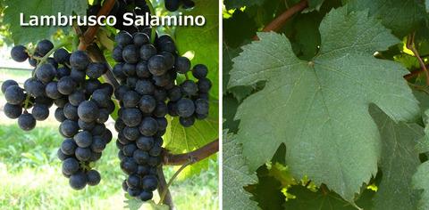 Lambrusco_Salamino