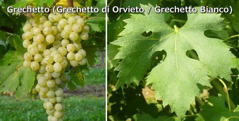 Grechetto