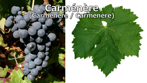 Carmenere01