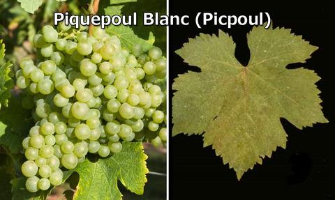 Picpoul04