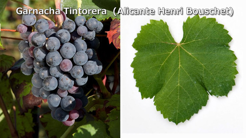 Garnacha-Tintorera