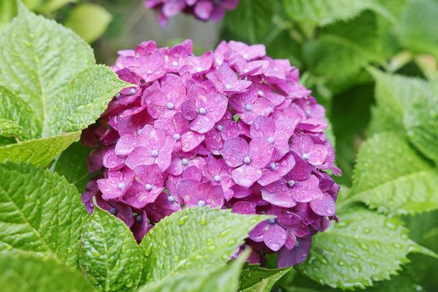 雨に紫陽花を撮りませう
