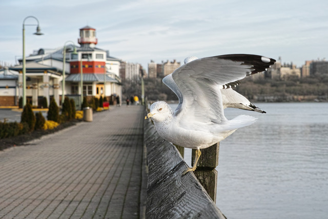 Seagulls on the Hudson River
