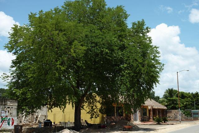 ユカタンの木