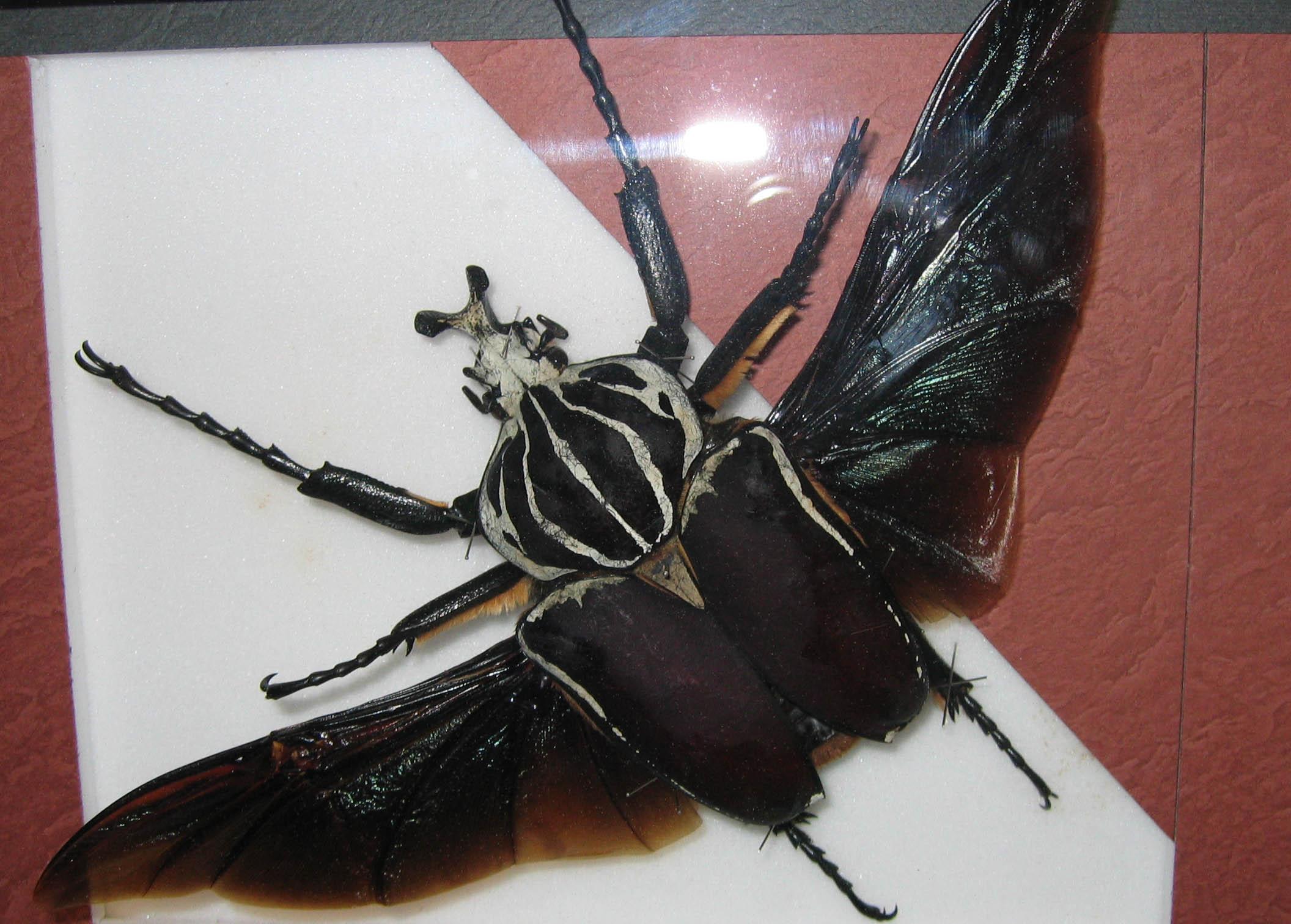 ハナムグリ ゴライアス