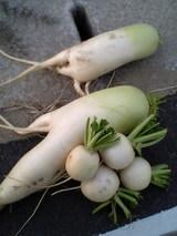 愛嬌たおおうりの野菜