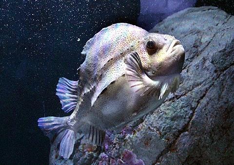 lumpfish~WM%20(2)