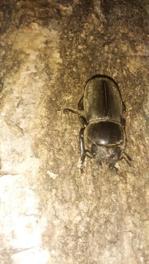 原木椎茸にカブトムシいたよ