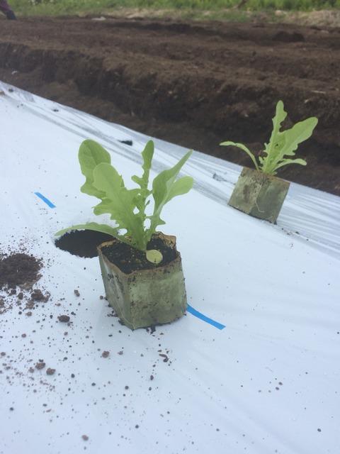 レタス各種定植