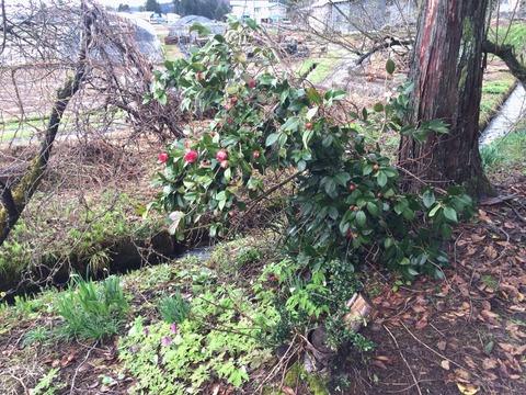お庭の椿の近くにアケビがあった。