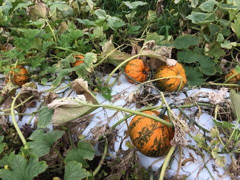 【種かぼちゃ】ストライプペポのその後