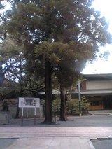 香椎宮に生えていた巨木