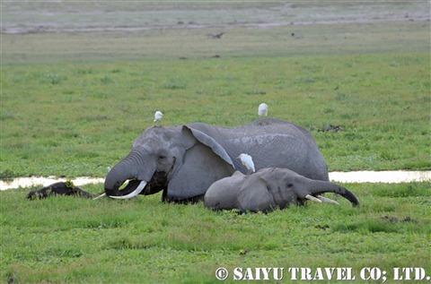 アンボセリ 湿地帯のゾウ
