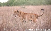 ライオン_