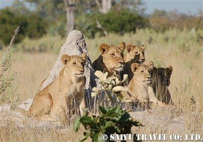ライオン家族