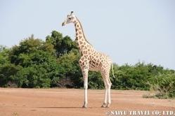 niger_giraffe