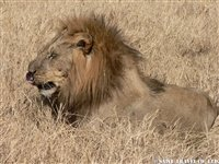 オカバンゴデルタの雄ライオン