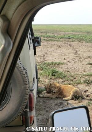 車の陰に隠れるライオンの子ども