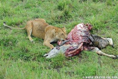 マサイマラ ライオンの食事
