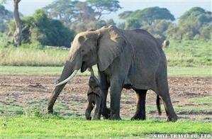 ■アンボセリ ゾウの親子 DSC_1590