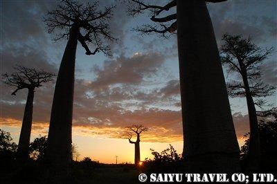 夕映えに映えるバオバブの並木道8