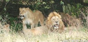 ンゴロンゴロ自然保護区のプライド