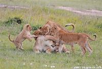 マサイマラ ライオンの親子